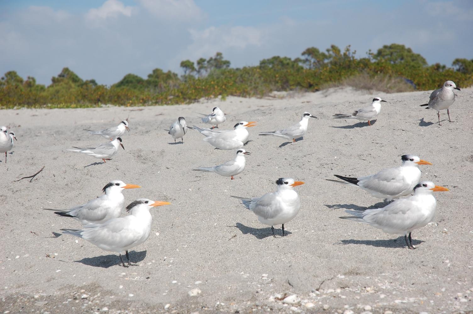 Snow birds on the beach
