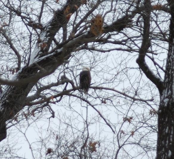 Bald Eagle at Starved Rock