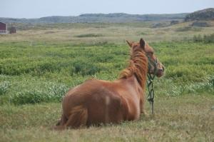 Newfoundland Horse