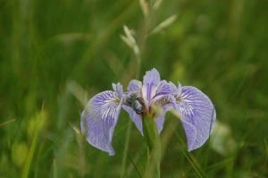 NFLD flower