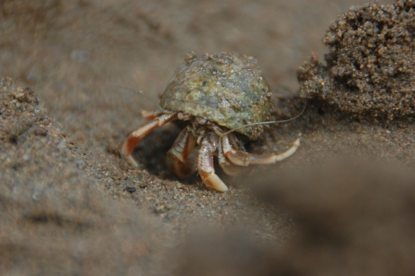 Hermit crab in action