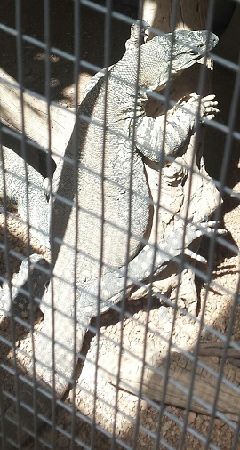 One of the many monitor lizards that call PHA home