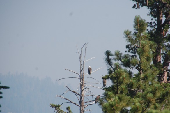 A trio of eagles perched over Lake Tahoe